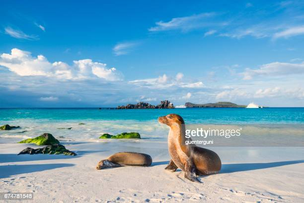 galapagos sea lion (zalophus wollebaeki) at the beach of espanola island - ecuador stock pictures, royalty-free photos & images