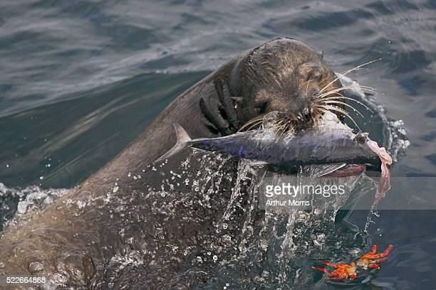Galapagos sea lion eating a bonito
