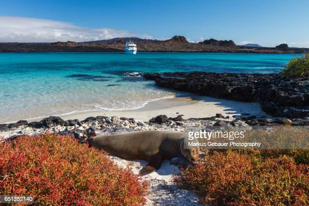 A Galapagos sea lion on the beach with a cruise ship and turquoise ocean in the distance, Galapagos Islands