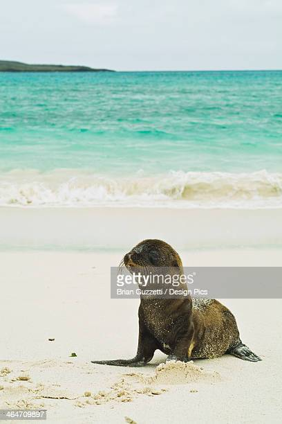 A Galapagos Sea Lion Pup (Zalophus Wollebaeki) Wait On Shore For Its Mother