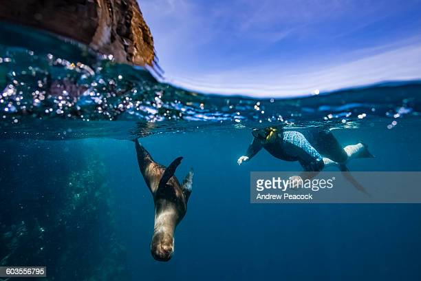 galapagos sea lion swimming at guy fawkes islets - galapagos islands stock pictures, royalty-free photos & images