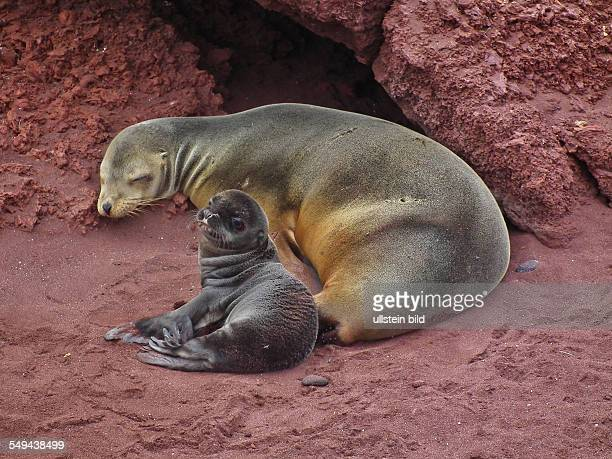 Galapagos sea lion with pup on the red sand of the Isla Rabida