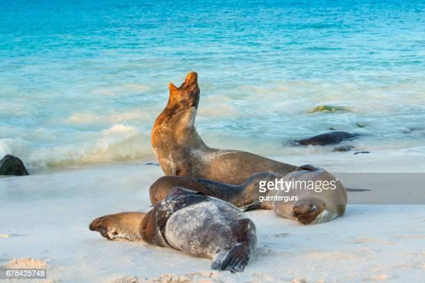 Galapagos sea lions (Zalophus wollebaeki) at the beach of Espanola island