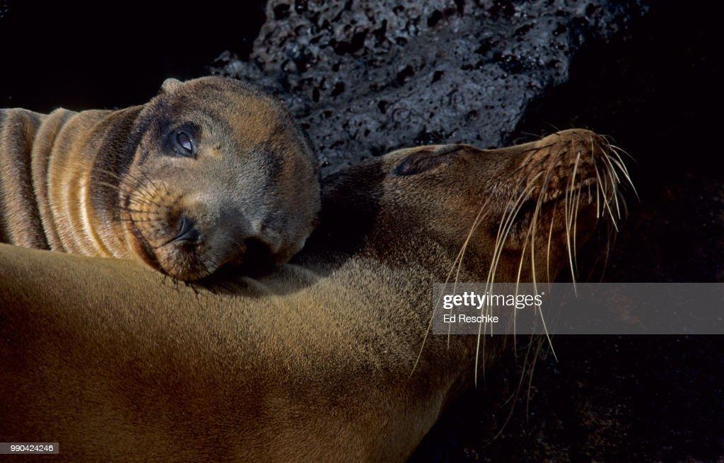 Galapagos Sea Lions (Zalopus californianus) Mother and Sea Lion Pup : Stock Photo