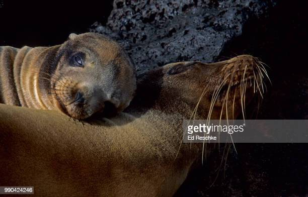 galapagos sea lions (zalopus californianus) mother and sea lion pup - ed reschke photography stock photos and pictures