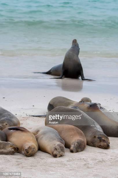 Galapagos sea lions on a beach on Santa Fe Island in the Galapagos National Park Galapagos Islands Ecuador