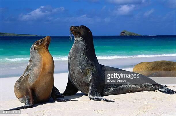 Galapagos sea lions (Zalophus californianus wollebaeki)