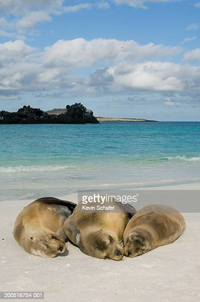 Galapagos sea lions (Zalophus wollebaeki) sleeping on beach
