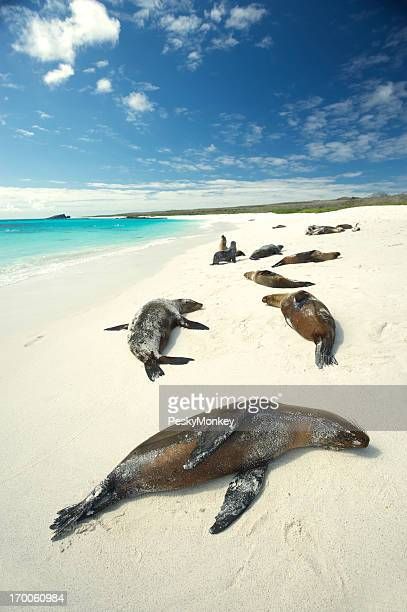 Galapagos Sea Lions Sun Themselves on Bright Beach
