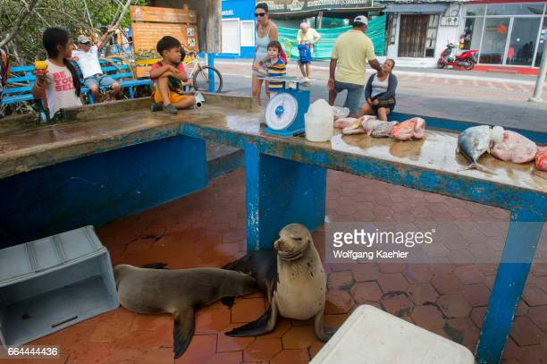 Galapagos sea lions waiting for a handout from a fisherman at the fish market in Puerto Ayora on Santa Cruz Island in the Galapagos Islands Ecuador