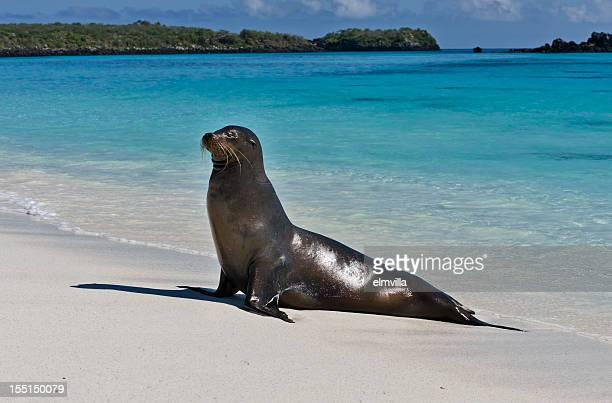 Galapagos Seal Lion on a beach