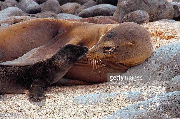 galapagos sea-lion with young - seal pup stock photos and pictures