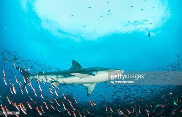 Galapagos Shark Amongst The Fish