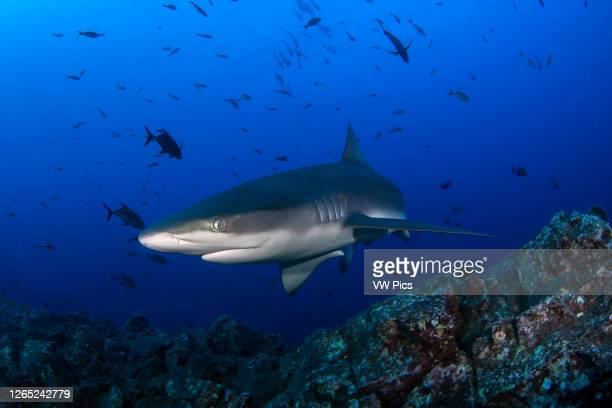 Galapagos shark in San Benedicto Island, Revillagigedo, Mexico.