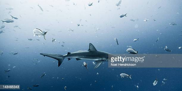 A Galapagos shark swims among fish
