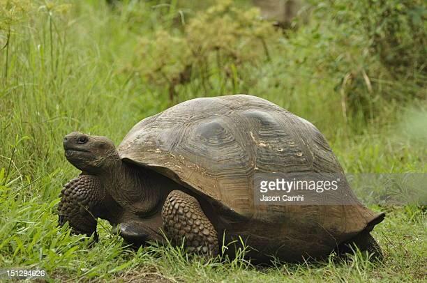 galapagos tortoise - isla de santa cruz islas galápagos fotografías e imágenes de stock