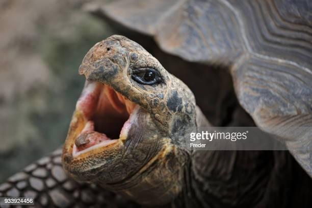 tortuga de las islas galápagos - especies amenazadas fotografías e imágenes de stock