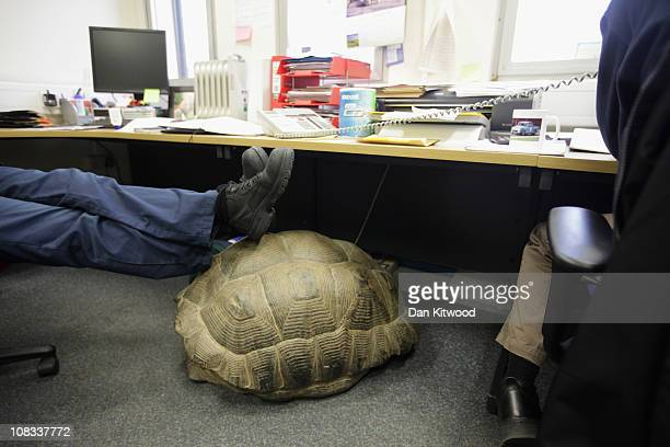 Galapagos Tortoise shell is used as a foot rest at Heathrow Airport's Animal Reception Centre on January 25 2011 in London England Many animals pass...