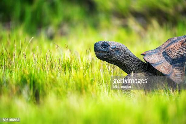 a galapagos tortoise walking through grass, side view of the head and part of the shell. - galapagos islands stock pictures, royalty-free photos & images