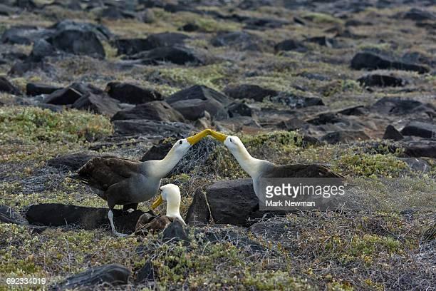 Galapagos Waved Albatross display ritual