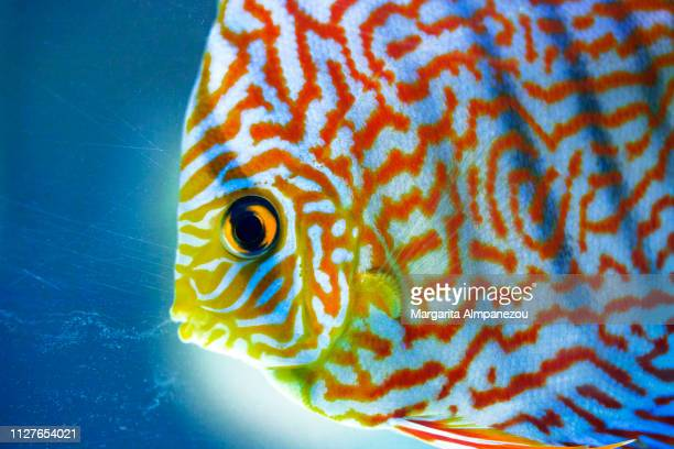 galaxy red turquoise discus - animal markings stock pictures, royalty-free photos & images