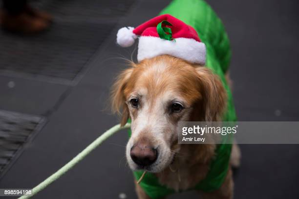 Galbi the dog dressed for Christmas at Rockefeller Center on Christmas day on December 25 2017 in New York City Security in New York is on alert as...