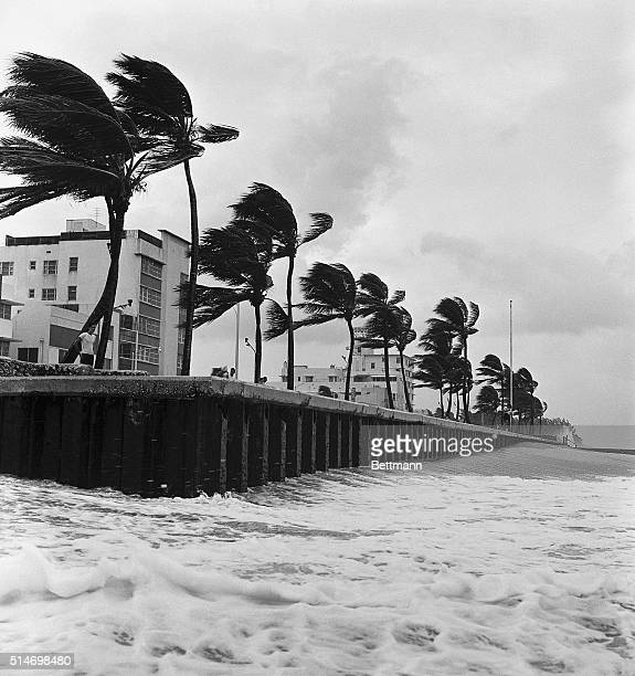 Gale force winds produced by Hurricane Donna bend and sway palm trees in Miami Beach on September 9 1960