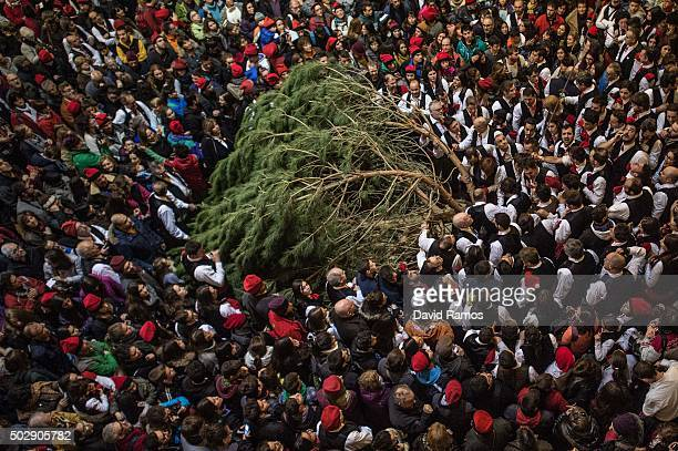 'Galejadors' carry the selected pine into the church during 'La Festa del Pi' in the village of Centelles on December 30 2015 in Barcelona Spain...