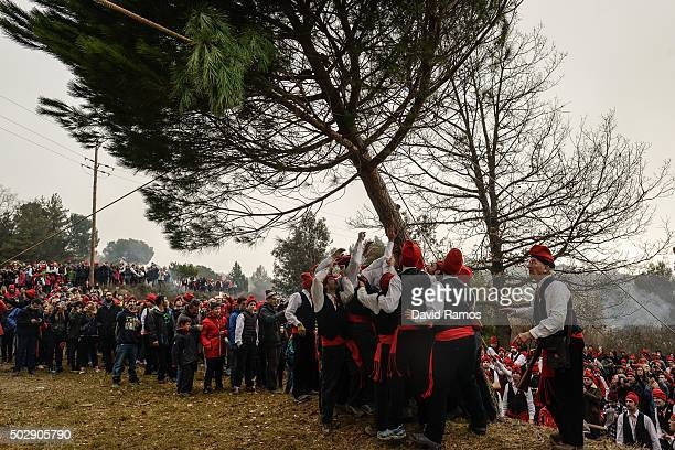 'Galejadors' chop the selected pine down during 'La Festa del Pi' in the village of Centelles on December 30 2015 in Barcelona Spain Early in the...