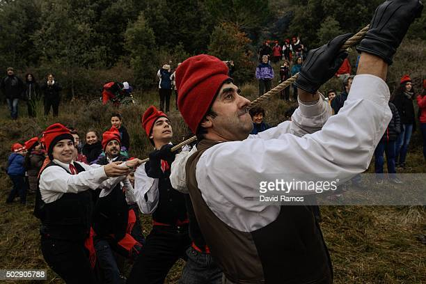 'Galejadors' pull a rope tied to the selected pine as they chop it down during 'La Festa del Pi' in the village of Centelles on December 30 2015 in...