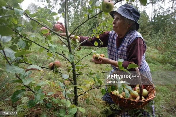 Galicia Apple collect for Manzanova cider
