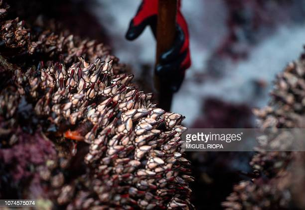 Galician fisherman picks goose barnacles at the Roncudo Cape next to the village of Corme, northwestern Spain, on December 22, 2018.