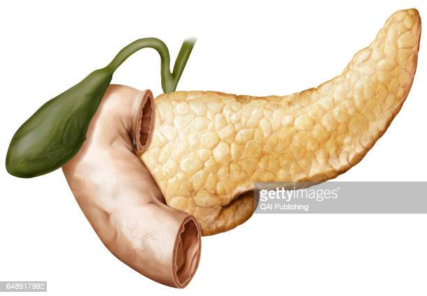 Gallbladder duodenum and pancreas This image shows the gallbladder the duodenum and the pancreas