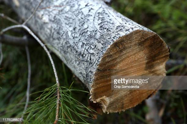 Galleries or eating trails left behind by the mountain pine beetle scar a fallen lodgepole pine log in BeaverheadDeerlodge National Forest September...