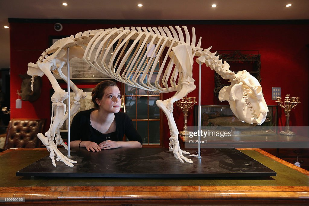 A gallery assistant at Bonhams auction house admires a mounted skeleton of a Pygmy hippopotamus, which is expected to fetch 15,00 GBP in their forthcoming 'Gentleman's Library Sale' on January 24, 2013 in London, England. The auction includes an eclectic mix of rare items such as a cigar that belonged to Winston Churchill and a MI9 spy catalogue. It will take place in Bonhams Knightsbridge on January 29 and 30, 2013.