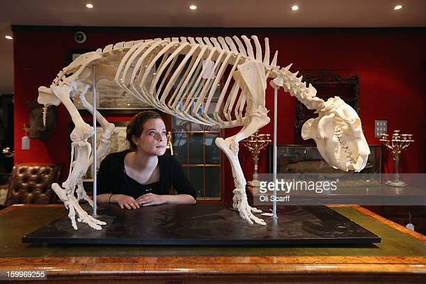 A gallery assistant at Bonhams auction house admires a mounted skeleton of a Pygmy hippopotamus which is expected to fetch 1500 GBP in their...