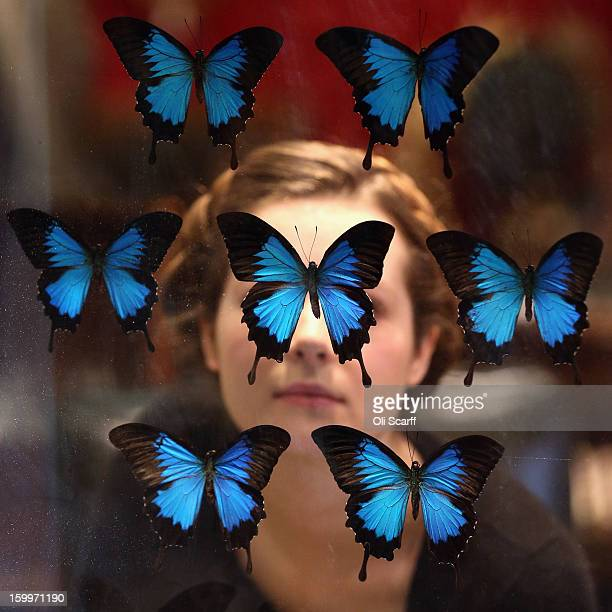 Gallery assistant at Bonhams auction house admires an antique fire screen featuring a display of Blue Mountain Swallowtail butterflies , which is...
