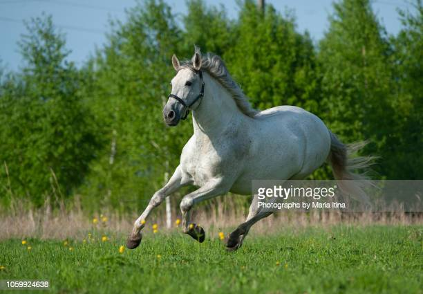 galloping andalusian gray stallion - cheval blanc photos et images de collection