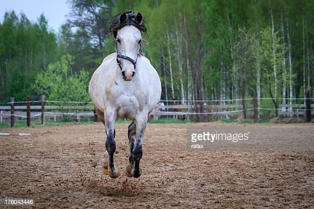 Galloping arab horse