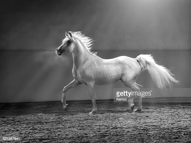 galloping arabian horse - stallion in shining light