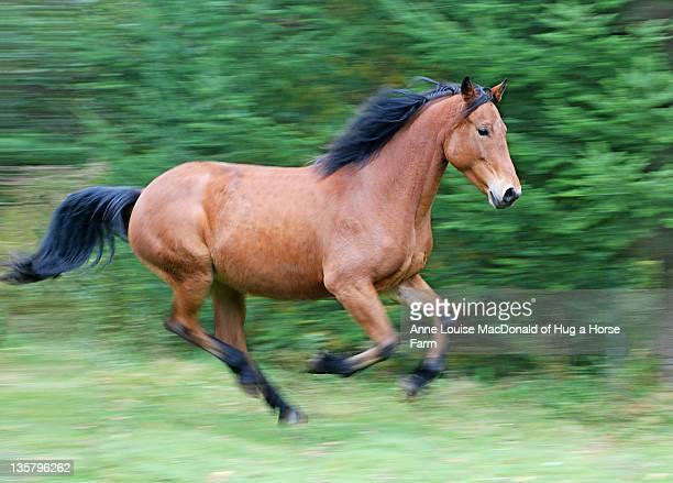 galloping bay horse - um animal - fotografias e filmes do acervo