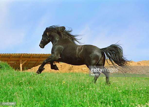 galloping black horse - friesian stallion
