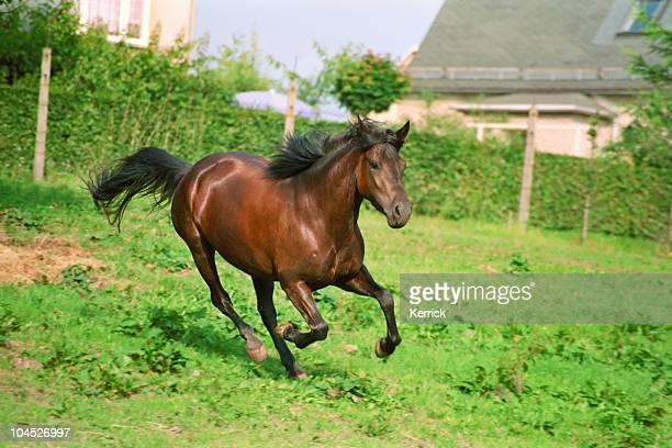 galloping cavallo marrone - soltanto un animale foto e immagini stock