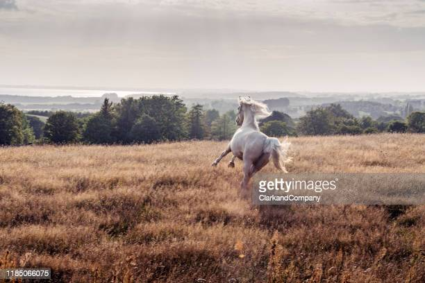 galloping palomino horse. - beauty in nature stock pictures, royalty-free photos & images