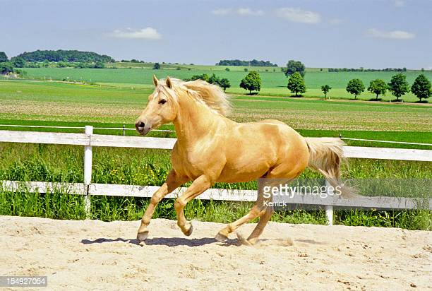 galloping Quarter Horse in paddock