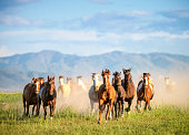 Galloping wild horses in the wilderness