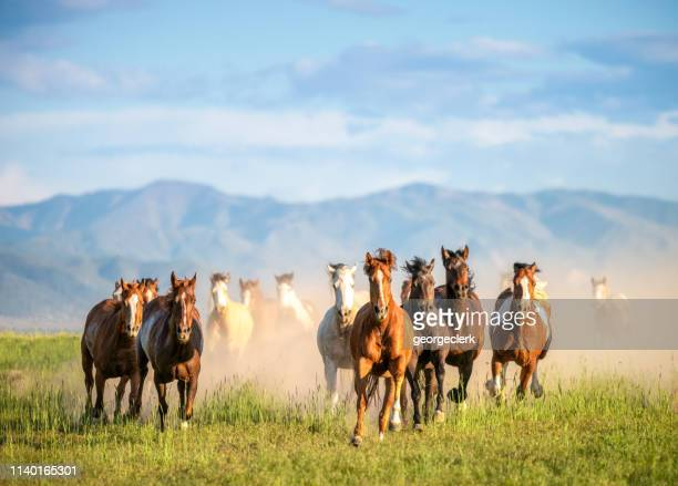 galloping wild horses in the wilderness - animals in the wild stock pictures, royalty-free photos & images