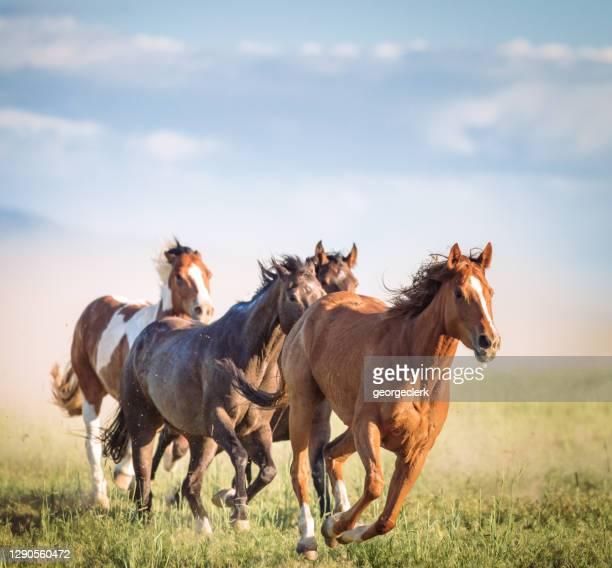 cavalli selvaggi al galoppo - cavallo equino foto e immagini stock
