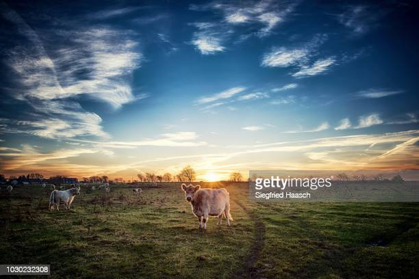 galloway rinder - schleswig holstein stock pictures, royalty-free photos & images