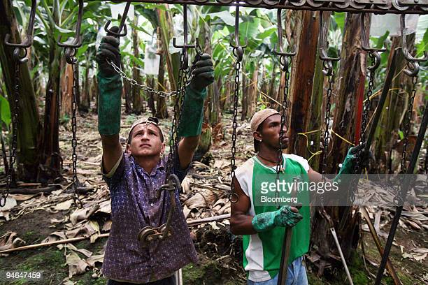 Galo Cruz and Jose Luis Robinson set up the hooks to carry freshly cut bananas that will be pulled from the plantation to the packing zone in...